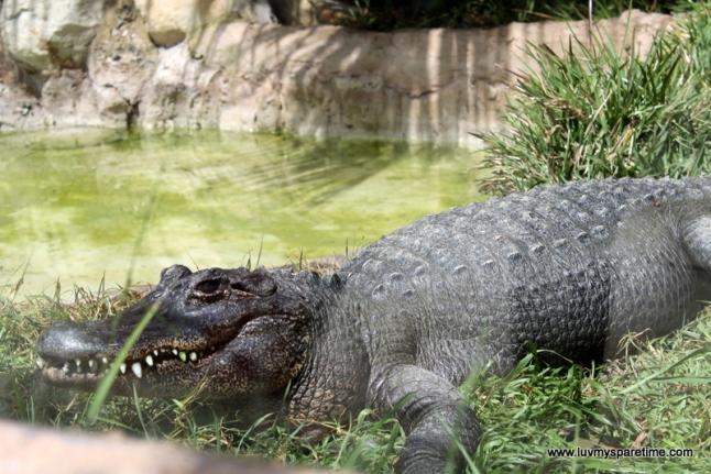 santa barbara zoo crocodile