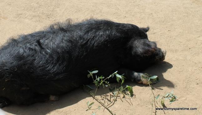 santa barbara zoo pig