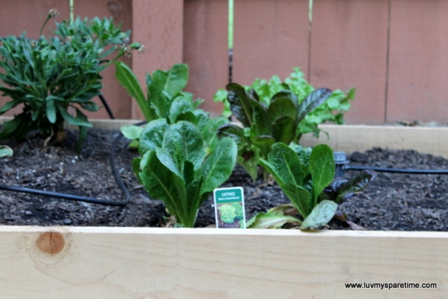 DIY lettuce garden box