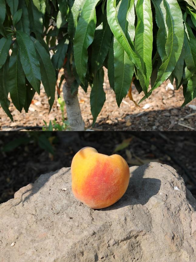 homegrown peach